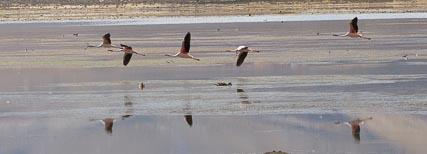 Puna Flamingos
