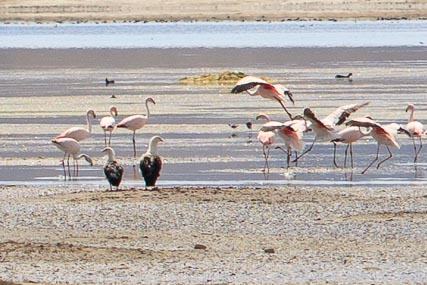 Flamingos and Andean Geese