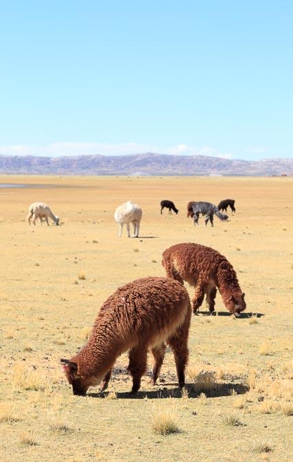 Alpacas Near Laguna Achiri