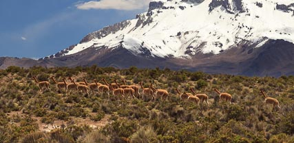 Vicuñas in the foothills of the Sajama